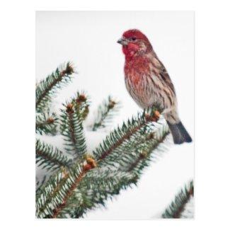 Bird on a Snowy Evergreen Postcard
