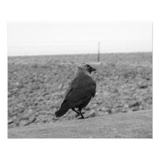 Bird Picture. Jackdaw. Flyer