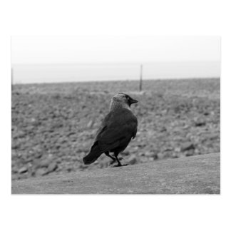 Bird Picture. Jackdaw. Postcard