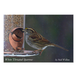 Bird Poster, White Throated Sparrow