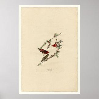 Bird, Purple Finch - Audubon - Vintage Poster