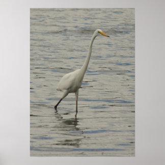 Bird Walking in Water at Cooby Dam Queensland Poster