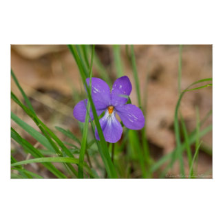 Birds Foot Violet in the Grass Poster