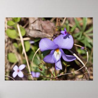 Birds-Foot Violet w/ Bluets Wildflower Poster