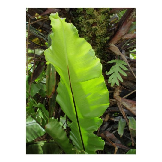 Bird's Nest Fern Leaf Poster