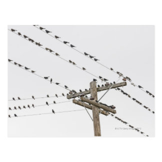 Birds perched on wires postcard