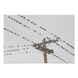 Birds perched on wires poster