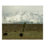 Bison at Grand Teton National Park Photography Poster