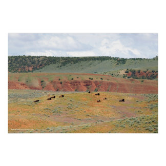 Bison at Hot Springs State Park Poster
