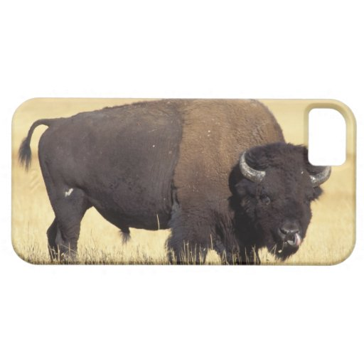 bison, Bison bison, bull in Yellowstone National iPhone 5 Case