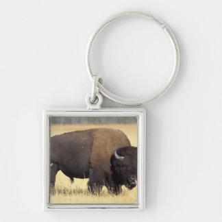 bison, Bison bison, bull in Yellowstone National Keychain