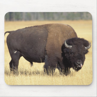 bison, Bison bison, bull in Yellowstone National Mouse Pad