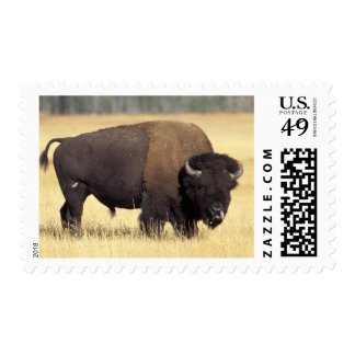 bison, Bison bison, bull in Yellowstone National Postage Stamps