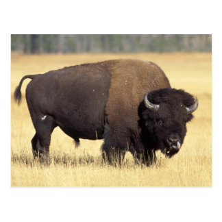 bison, Bison bison, bull in Yellowstone National Postcards