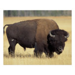 bison, Bison bison, bull in Yellowstone National Poster