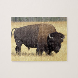 bison, Bison bison, bull in Yellowstone National Puzzle