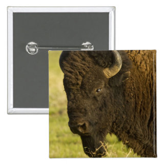 Bison bull at the National Bison Range, Button