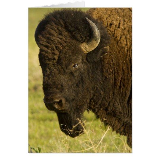 Bison bull at the National Bison Range, Card