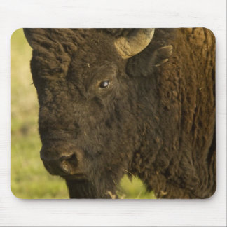 Bison bull at the National Bison Range, Mouse Pad