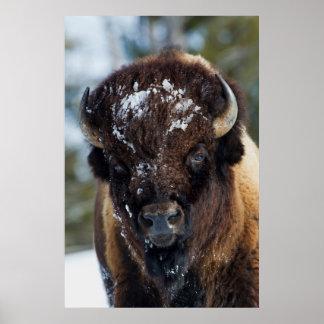 Bison Bull, winter 1 Poster