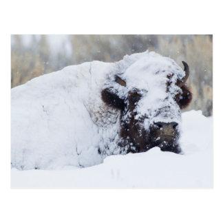 Bison Bull, winter coat Postcard