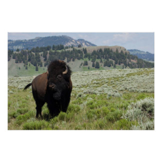 Bison Bull, Yellowstone National Park Poster