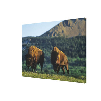 Bison bulls at Waterton Lakes National Park in Stretched Canvas Print