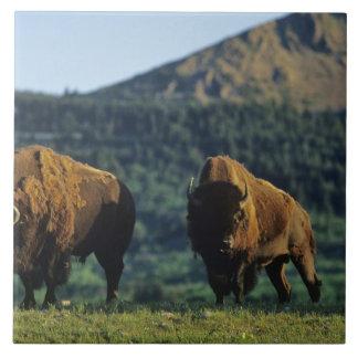 Bison bulls at Waterton Lakes National Park in Ceramic Tile