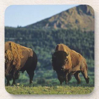 Bison bulls at Waterton Lakes National Park in Coaster