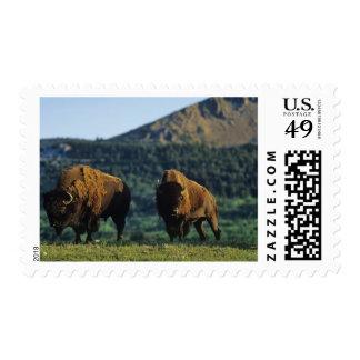 Bison bulls at Waterton Lakes National Park in Postage Stamp