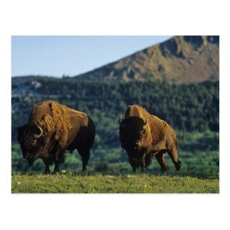 Bison bulls at Waterton Lakes National Park in Postcard
