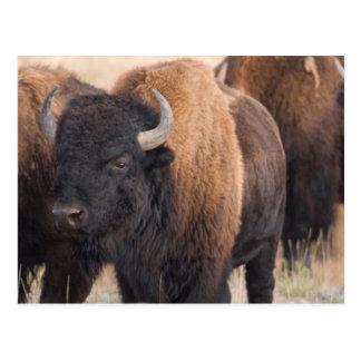 Bison Close-up Postcard