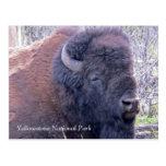Bison Closeup Postcard