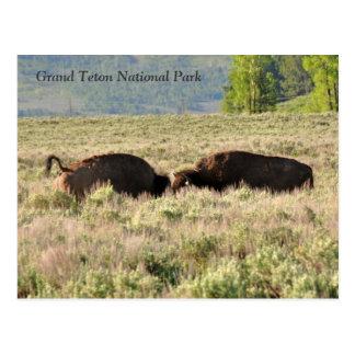 Bison Conflict Postcard