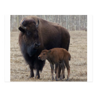 Bison Cow and Calf 1 Postcard