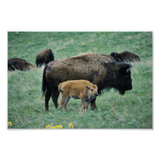 Bison cow and calf poster