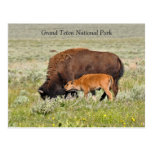 Bison Cow and Calf Scenic Postcard