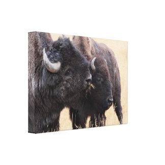 bison friendship canvas prints