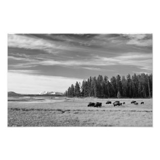 Bison Grazing at Yellowstone Black and White Photo Print