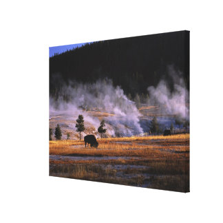 Bison grazing in the Upper Geyser Basin near Canvas Print