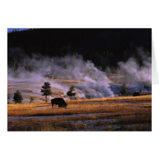 Bison grazing in the Upper Geyser Basin near Greeting Card