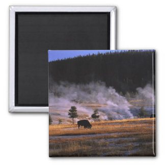 Bison grazing in the Upper Geyser Basin near Refrigerator Magnets
