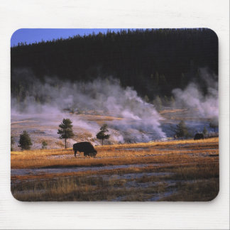 Bison grazing in the Upper Geyser Basin near Mouse Pad