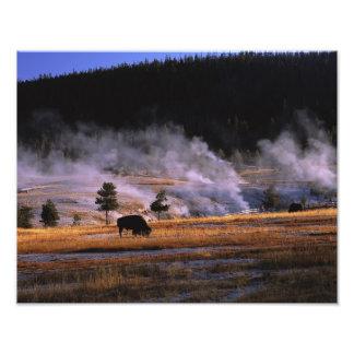 Bison grazing in the Upper Geyser Basin near Photo Print