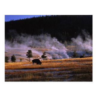 Bison grazing in the Upper Geyser Basin near Postcard