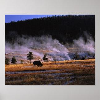 Bison grazing in the Upper Geyser Basin near Poster