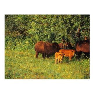 Bison Herd at Neil Smith NWR in Iowa Postcard