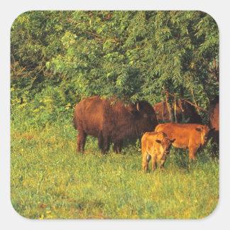 Bison Herd at Neil Smith NWR in Iowa Square Sticker