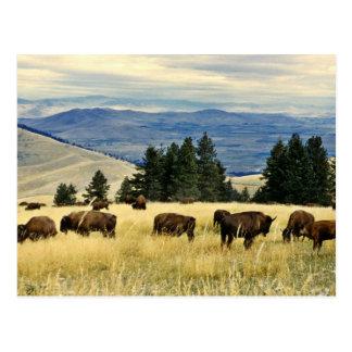 Bison herd grazing at the National Bison Range Postcard