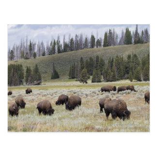 Bison in the Hayden Valley of Yellowstone Postcard